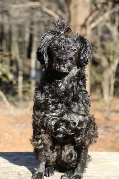 トイプードル系ミックス犬画像