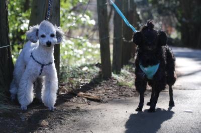 トイプードルとミックス犬の多頭飼い画像