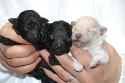 トイプードルの子犬ブラックオス1頭メス1頭ホワイトメス1頭、生後3日画像