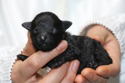 トイプードルブラック(黒色)の子犬オス、生後3日画像