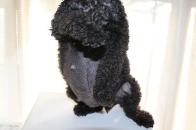 トイプードルブラック(黒色)妊娠犬、出産予定日10日前のお腹画像