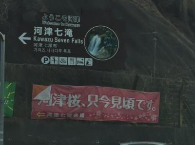 河津桜、只今見頃です画像