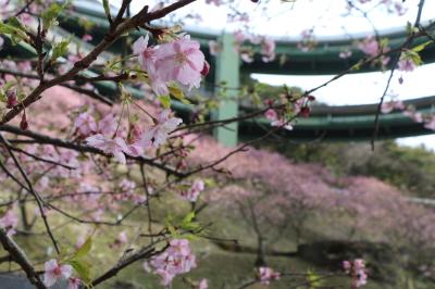 河津七滝ループ橋桜画像