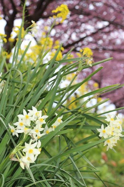 伊豆の河津桜、水仙画像