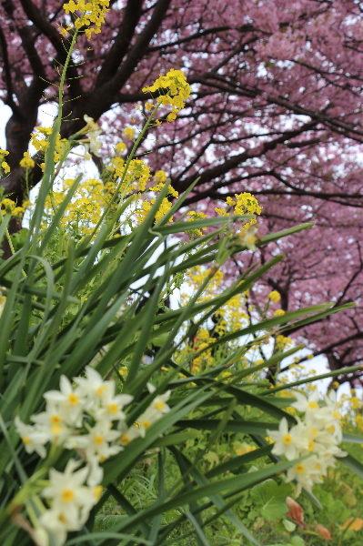伊豆の河津桜菜の花画像