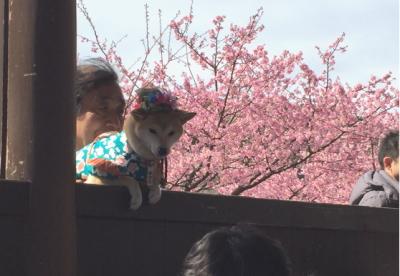 伊豆の河津桜、柴犬画像
