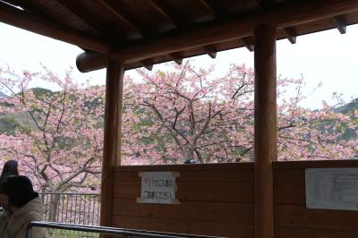 伊豆の河津桜、足湯画像