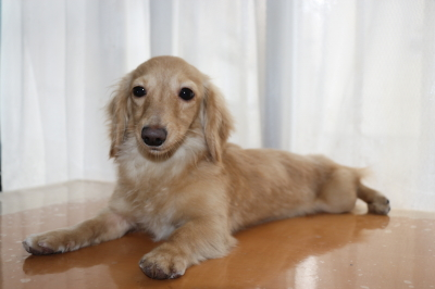 カニンヘンダックスクリームの子犬メス、生後8ヶ月画像