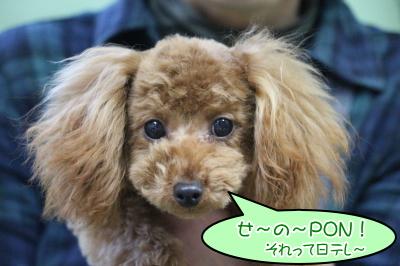 タイニーサイズトイプードルレッドの子犬オス、生後6か月画像
