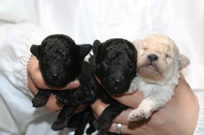 トイプードルの子犬ブラックオス1頭メス1頭ホワイトメス1頭、生後2週間画像