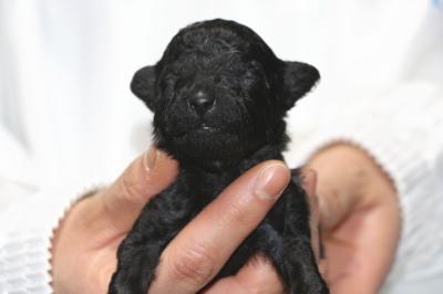 トイプードルブラック(黒色)の子犬オス、生後2週間画像