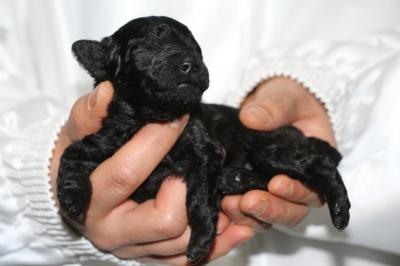 トイプードルブラック(黒色)の子犬メス、生後2週間画像