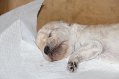 トイプードルホワイト(白色)の子犬メス、生後2週間画像