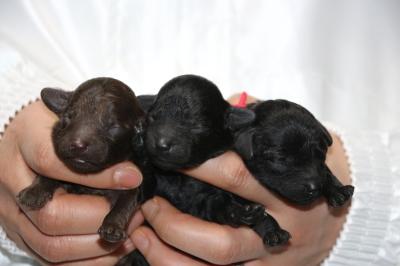 トイプードルの子犬ブラウンオス1頭ブラック(黒色)メス2頭、生後3日画像