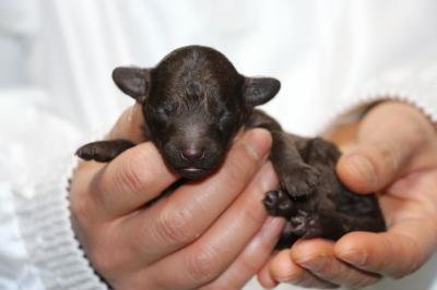 トイプードルブラウンの子犬オス、生後3日画像