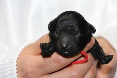 トイプードルブラック(黒色)の子犬メス、生後3日画像