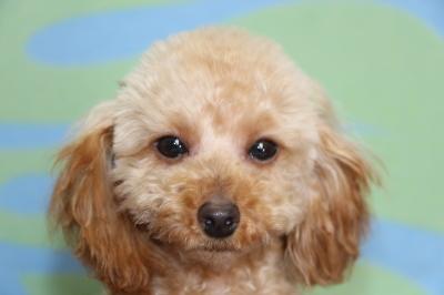 トイプードルアプリコットの子犬メス、生後生後半年画像