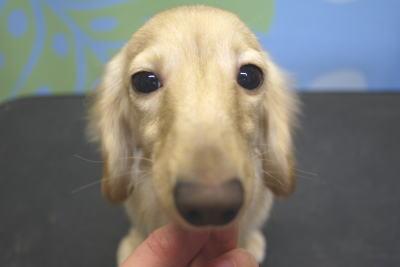 カニンヘンダックスブリーダーの子犬、トリミング画像