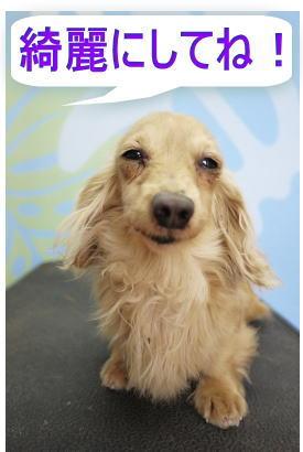 カニンヘンダックスブリーダーの成犬、トリミング前画像