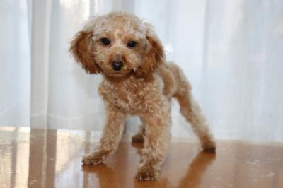 トイプードルアプリコットの子犬メス、生後5ヶ月画像