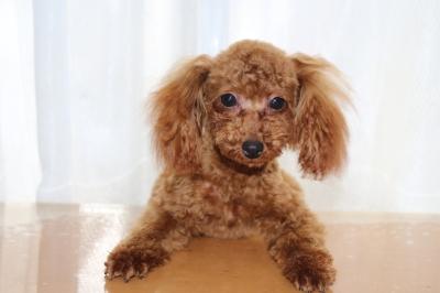 トイプードルレッドの子犬メス、生後7ヶ月画像