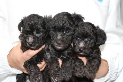 トイプードルシルバーの子犬オス2頭メス1頭、生後5週間画像