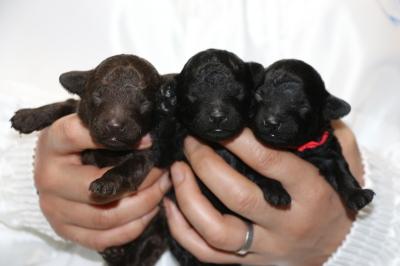トイプードルの子犬ブラウンオス1頭ブラック(黒色)メス2頭、生後1週間画像