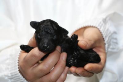 トイプードルブラック(黒色)の子犬メス、生後1週間画像