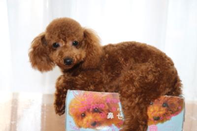 トイプードルレッドの子犬オス、生後7ヶ月画像