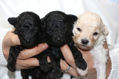 トイプードルの子犬ブラックオス1頭メス1頭ホワイトメス1頭、生後3週間画像