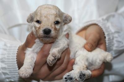 トイプードルホワイト(白色)の子犬メス、生後3週間画像