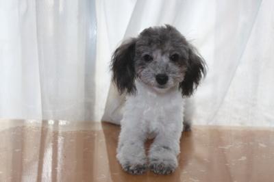 トイプードル白黒パーティーカラーの子犬オス、生後7ヶ月画像