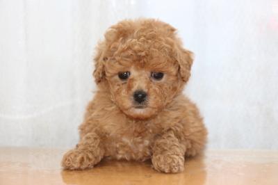 トイプードルアプリコットの子犬メス、生後7週間画像