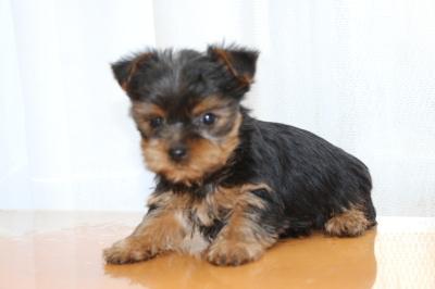 ヨークシャテリア(ヨーキー)の子犬メス、生後2ヶ月画像