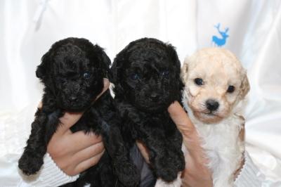 トイプードルの子犬ブラックオス1頭メス1頭ホワイトメス1頭、生後4週間画像