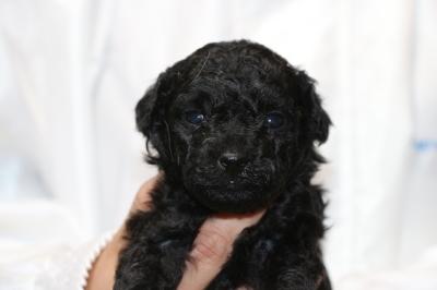 トイプードルブラック(黒色)の子犬メス、生後4週間画像