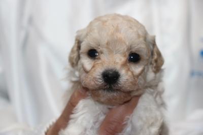 トイプードルホワイト(白色)の子犬メス、生後4週間画像