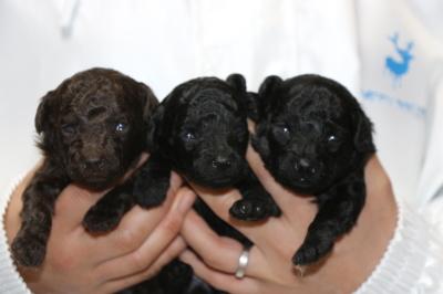 トイプードルの子犬ブラウンオス1頭ブラック(黒色)メス2頭、生後2週間画像