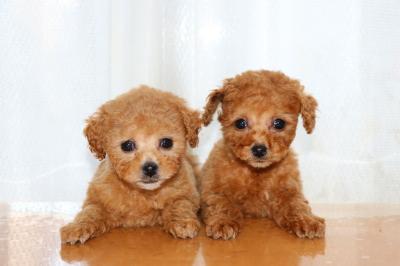 トイプードルレッドアプリコットの子犬メス、生後2ヶ月画像