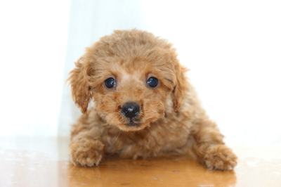 ティーカッププードルレッドの子犬オス、生後70日画像