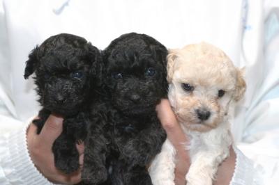 トイプードルの子犬ブラックオス1頭メス1頭ホワイトメス1頭、生後5週間画像