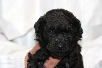 トイプードルブラック(黒色)の子犬オス、生後5週間画像