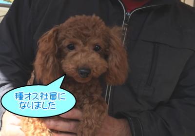 トイプードルレッドの子犬オス、種オス画像
