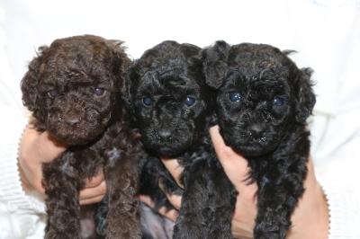 トイプードルの子犬ブラウンオス1頭ブラック(黒色)メス2頭、生後4週間画像