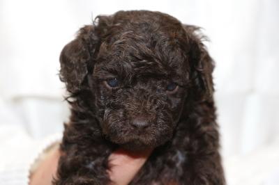 トイプードルブラウンの子犬オス、生後4週間画像