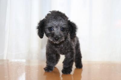 トイプードルシルバーの子犬メス、生後2ヶ月画像