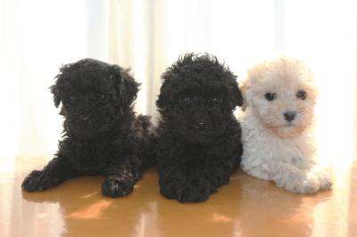 トイプードルの子犬ブラックオス1頭メス1頭ホワイトメス1頭、生後6週間画像