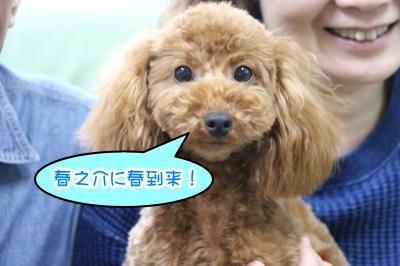 東京都八王子市トイプードルレッドの子犬オス画像
