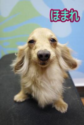 カニンヘンダックスブリーダーの成犬、トリミング画像