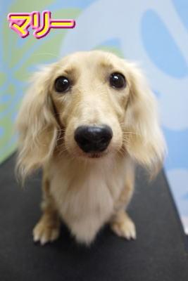 ミニチュアダックスのブリーダーの成犬、トリミング画像